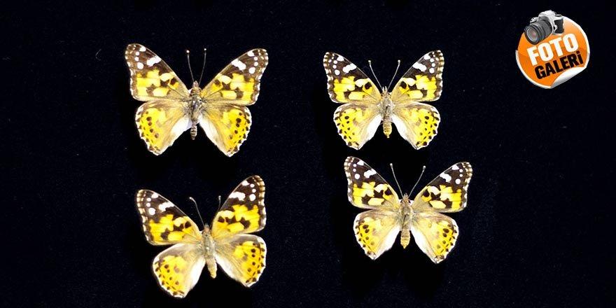 Diken kelebeğinin göçü ile ilgili gülümseten sorular