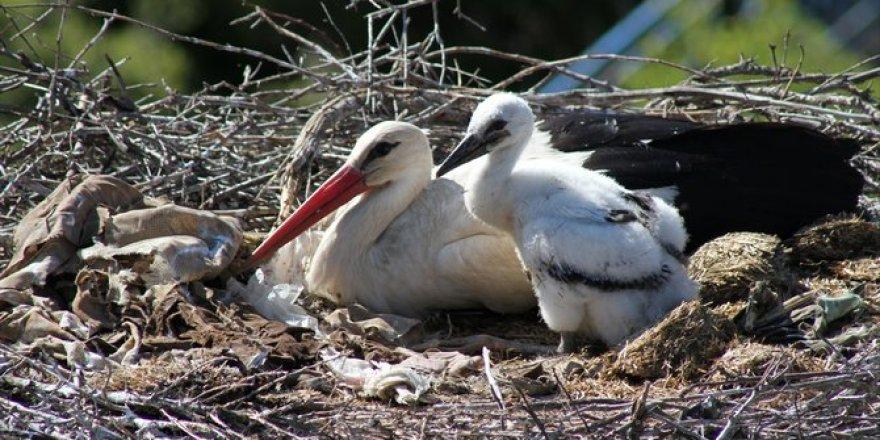 Leylekler Vadisi'nin yuvaları yavrularla şenlendi