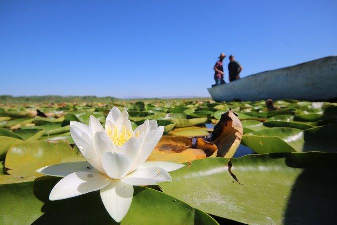 Beyşehir Gölü'nde yetişen nilüferler görsel şölen oluşturuyor 1