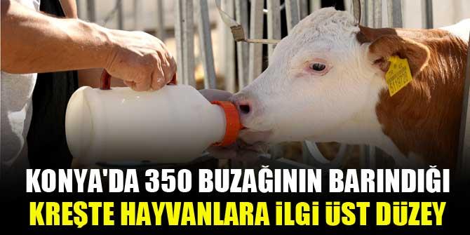 Konya'da 350 buzağının barındığı kreşte hayvanlara ilgi üst düzey 1