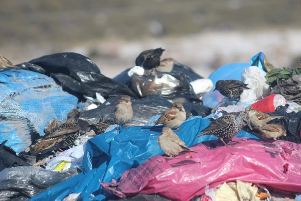 Kuşlar ve sokak hayvanlarının çöplükte yaşam mücadelesi 3