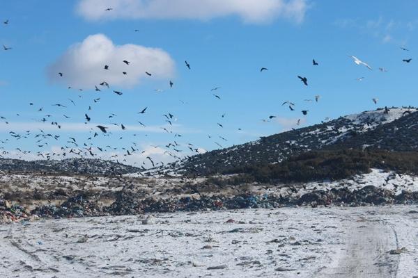 Kuşlar ve sokak hayvanlarının çöplükte yaşam mücadelesi 8