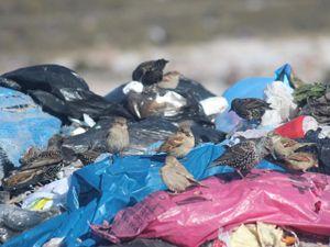 Kuşlar ve sokak hayvanlarının çöplükte yaşam mücadelesi
