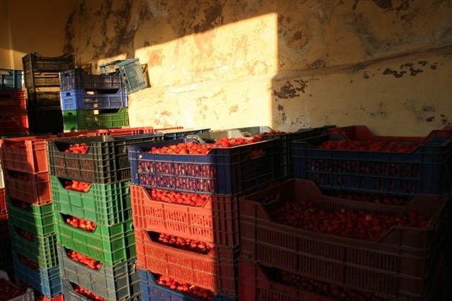 Konya'nın organik çileği ABD ve Rusya sofralarında 2