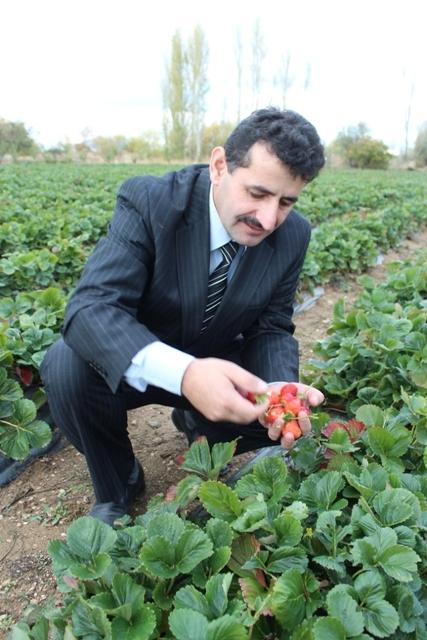 Konya'nın organik çileği ABD ve Rusya sofralarında 4