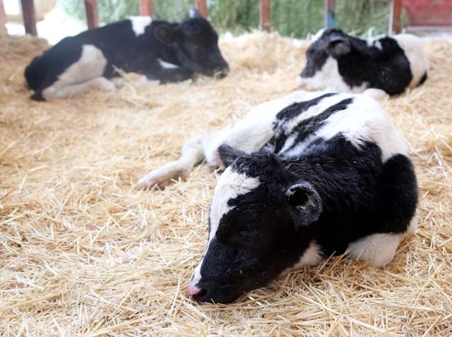 Konya'da bir inek üçüz buzağı doğurdu 1