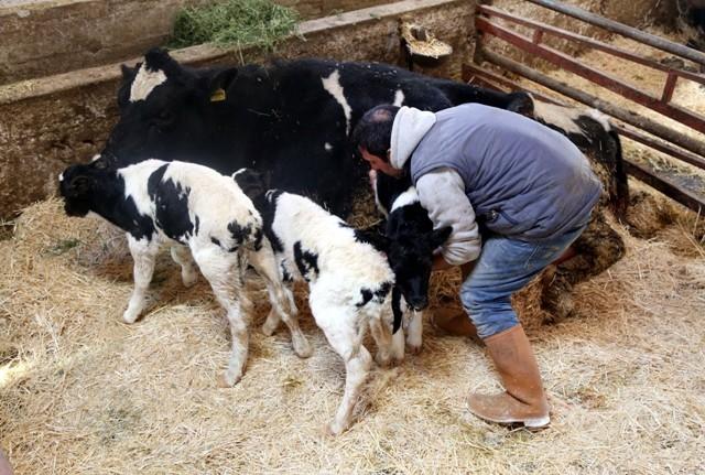 Konya'da bir inek üçüz buzağı doğurdu 4