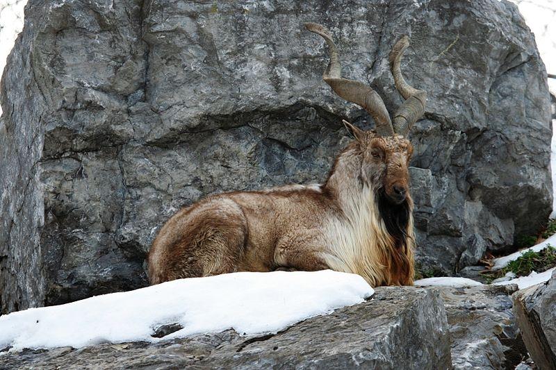 Hayvanlar Aleminin En Güzel Boynuzlu 10 Üyesi 1