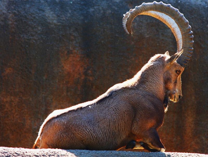 Hayvanlar Aleminin En Güzel Boynuzlu 10 Üyesi 3