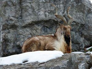 Hayvanlar Aleminin En Güzel Boynuzlu 10 Üyesi