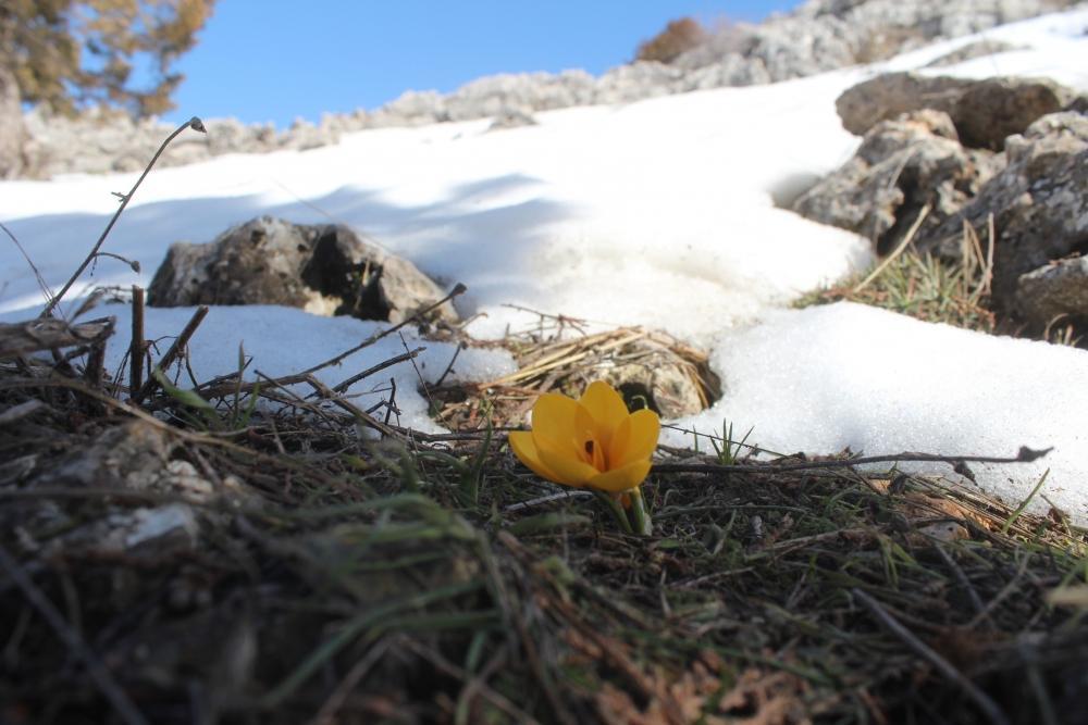 Toroslar'da eriyen karlar arasında çiçekler açtı 1