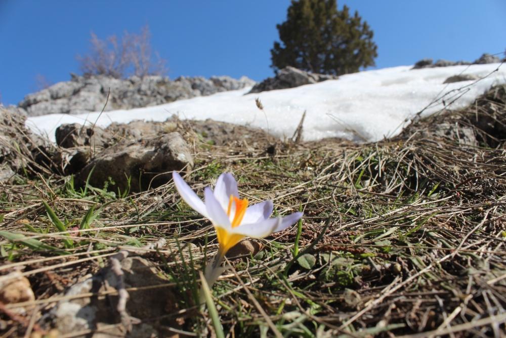 Toroslar'da eriyen karlar arasında çiçekler açtı 4
