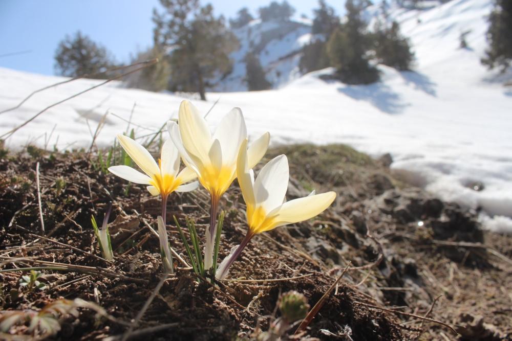 Toroslar'da eriyen karlar arasında çiçekler açtı 5