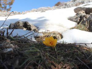 Toroslar'da eriyen karlar arasında çiçekler açtı