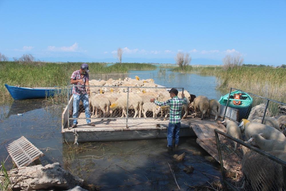 Koyun sürüleri salla adaya taşınıyor 1