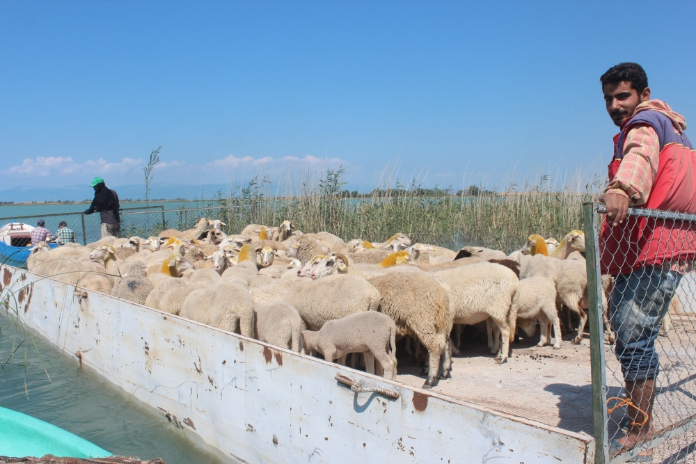 Koyun sürüleri salla adaya taşınıyor 10