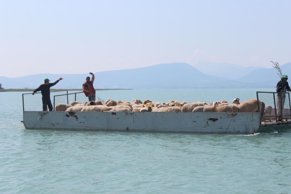 Koyun sürüleri salla adaya taşınıyor 14