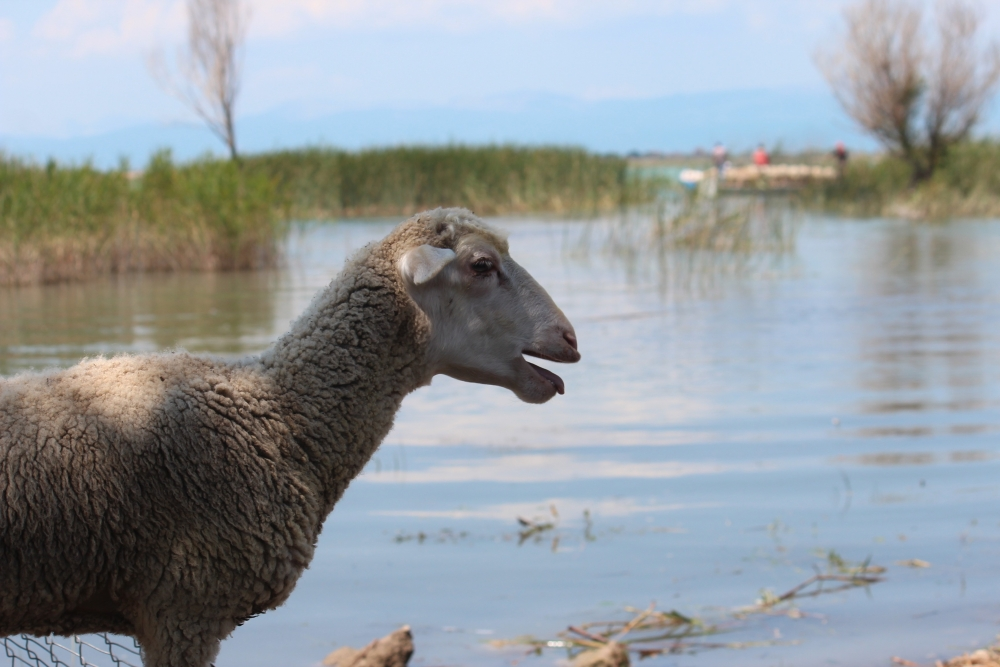 Koyun sürüleri salla adaya taşınıyor 16