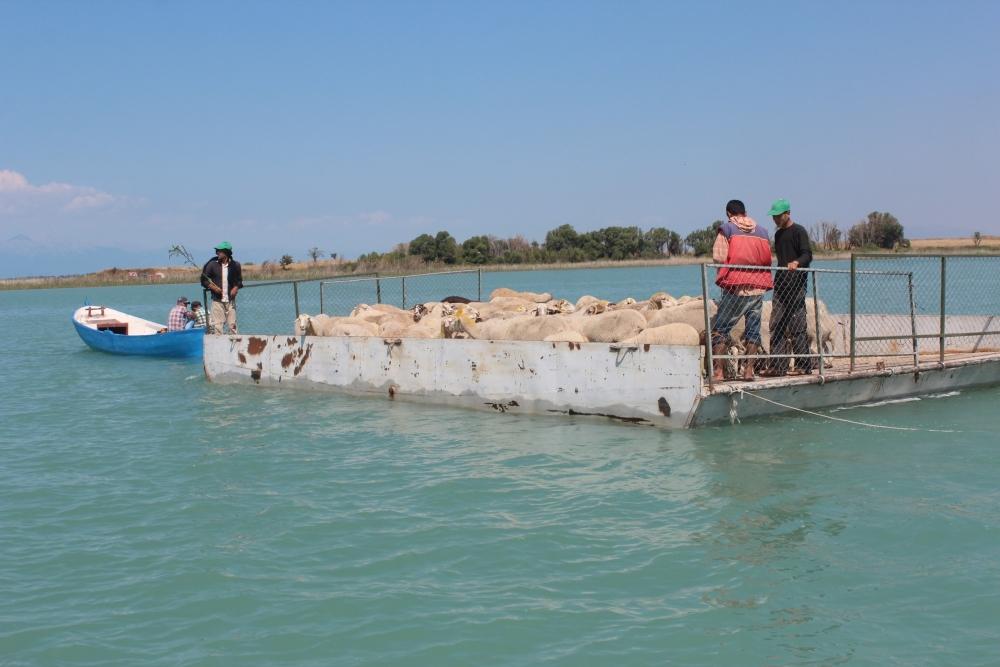 Koyun sürüleri salla adaya taşınıyor 17