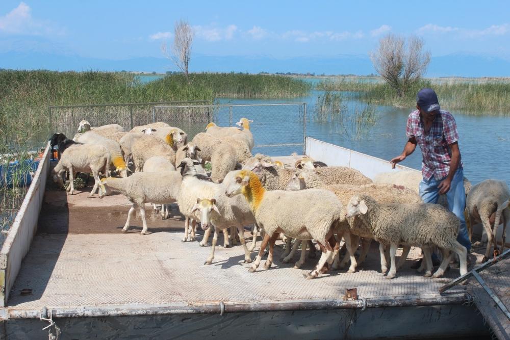 Koyun sürüleri salla adaya taşınıyor 2