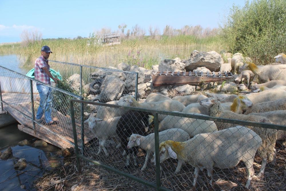 Koyun sürüleri salla adaya taşınıyor 3