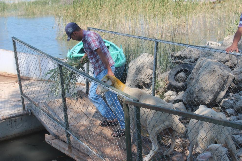 Koyun sürüleri salla adaya taşınıyor 4