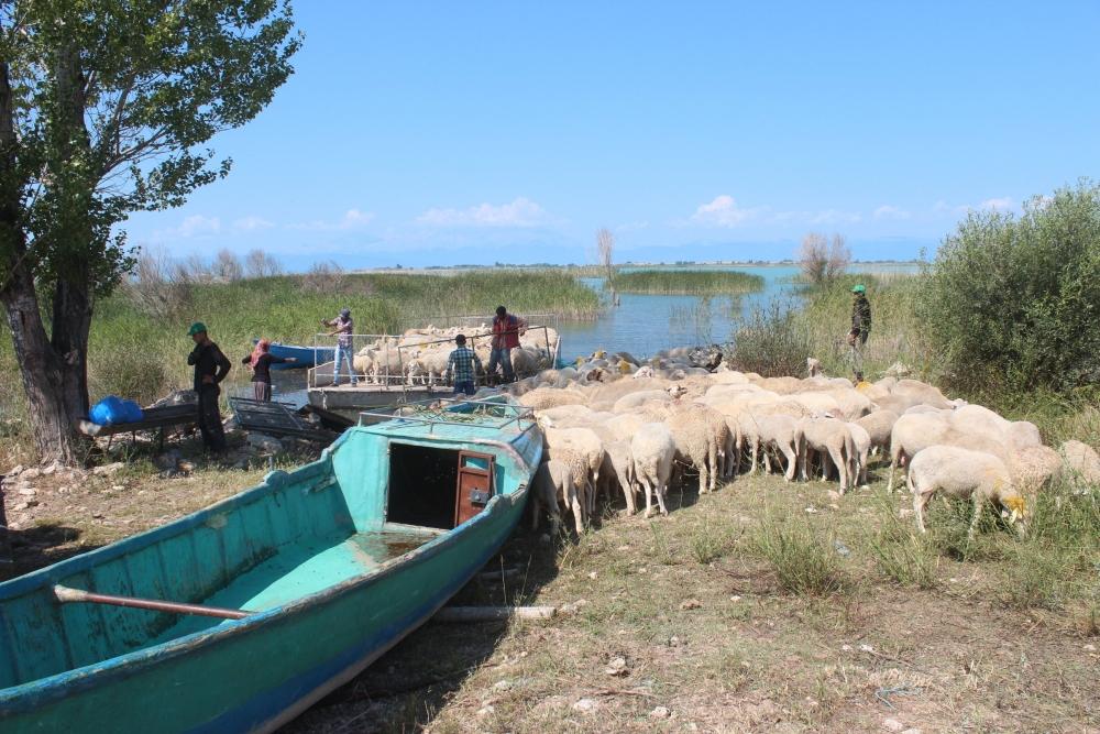 Koyun sürüleri salla adaya taşınıyor 5