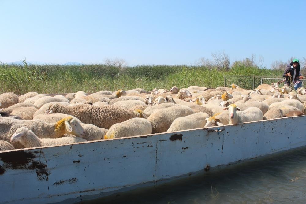 Koyun sürüleri salla adaya taşınıyor 7