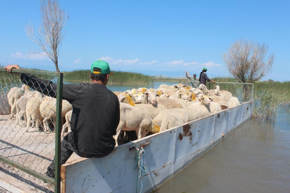 Koyun sürüleri salla adaya taşınıyor 8