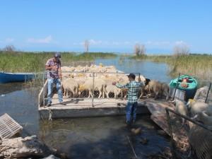 Koyun sürüleri salla adaya taşınıyor