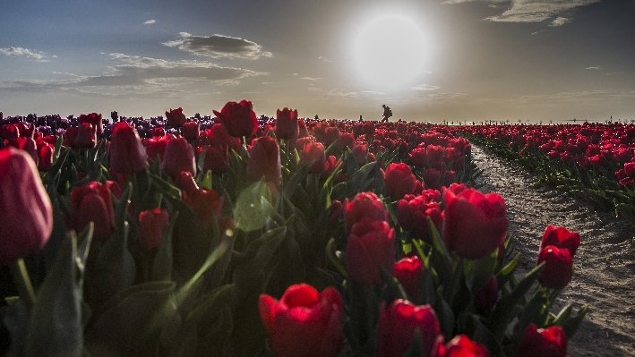 Konya'da fotoğraf stüdyosu gibi lale tarlaları 22
