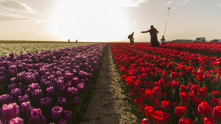 Konya'da fotoğraf stüdyosu gibi lale tarlaları 25