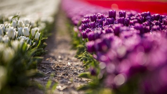Konya'da fotoğraf stüdyosu gibi lale tarlaları 8