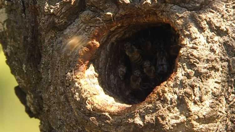 40 yıldır ağaçları dinliyor! Kilosunu 500 TL'ye satıyor 13