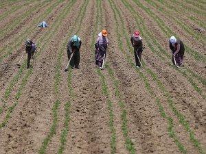 Tarlaların ince işçileri 'çapacı kadınlar'