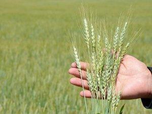 """Şehir çöplüğü"" buğday tarlası oldu"