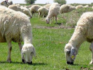 Mera tecavüzleri, hayvan üreticilerini mağdur ediyor