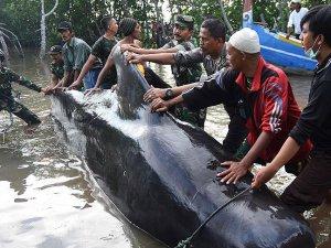 Endonezya'da kıyıya vuran balinalar telef oldu