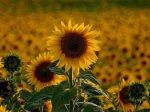 Edirne'de ayçiçek tohumları çiçek açmaya başladı