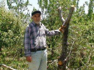 Üreticiler kiraz ağaçlarını kesmeye başladı
