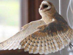 Yavru baykuşlar uçuş eğitimine başladı