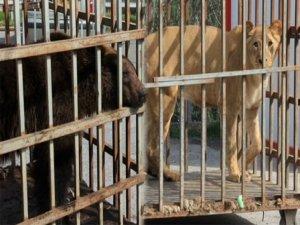 İstanbul'da AVM bahçesinde ayı ve aslan bulundu