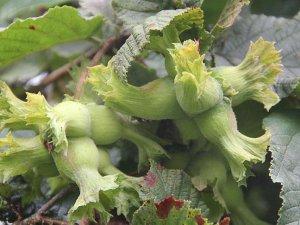 Erken hasat edilen fındık üreticisinin zararına