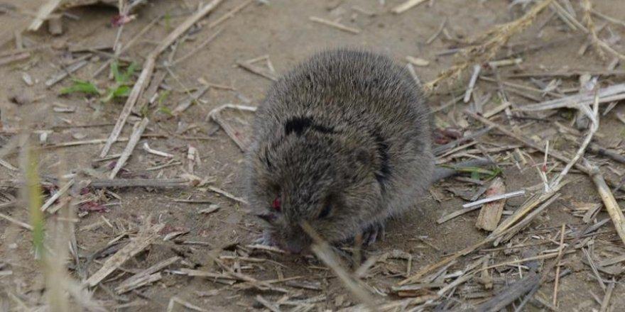 Yeni Zelanda'da fareleri yok etmek için 20 milyon dolarlık plan