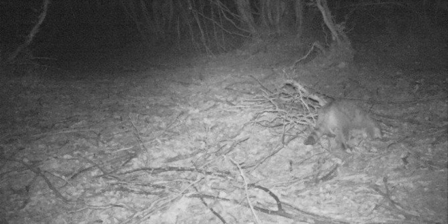 Yalova'da fotokapanla yaban kedisi görüntülendi