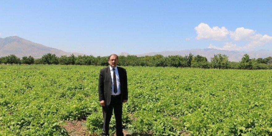 Ergan Fasulyesinde çalışmalar sürüyor