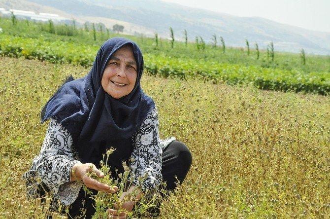 Kadın çiftçiler, İnönü'de çörekotu yetiştiriyor