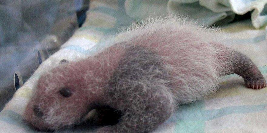 Avusturya'da ikiz pandalar dünyaya geldi