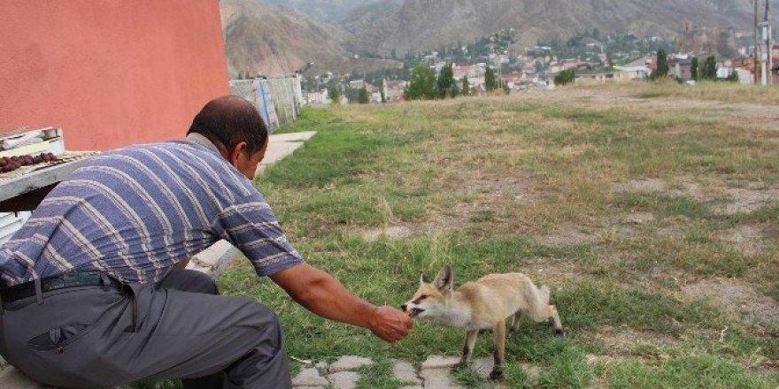 Tilkiyi eliyle besliyor