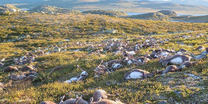 Norveç'te yıldırım ren geyiği sürüsünü telef etti
